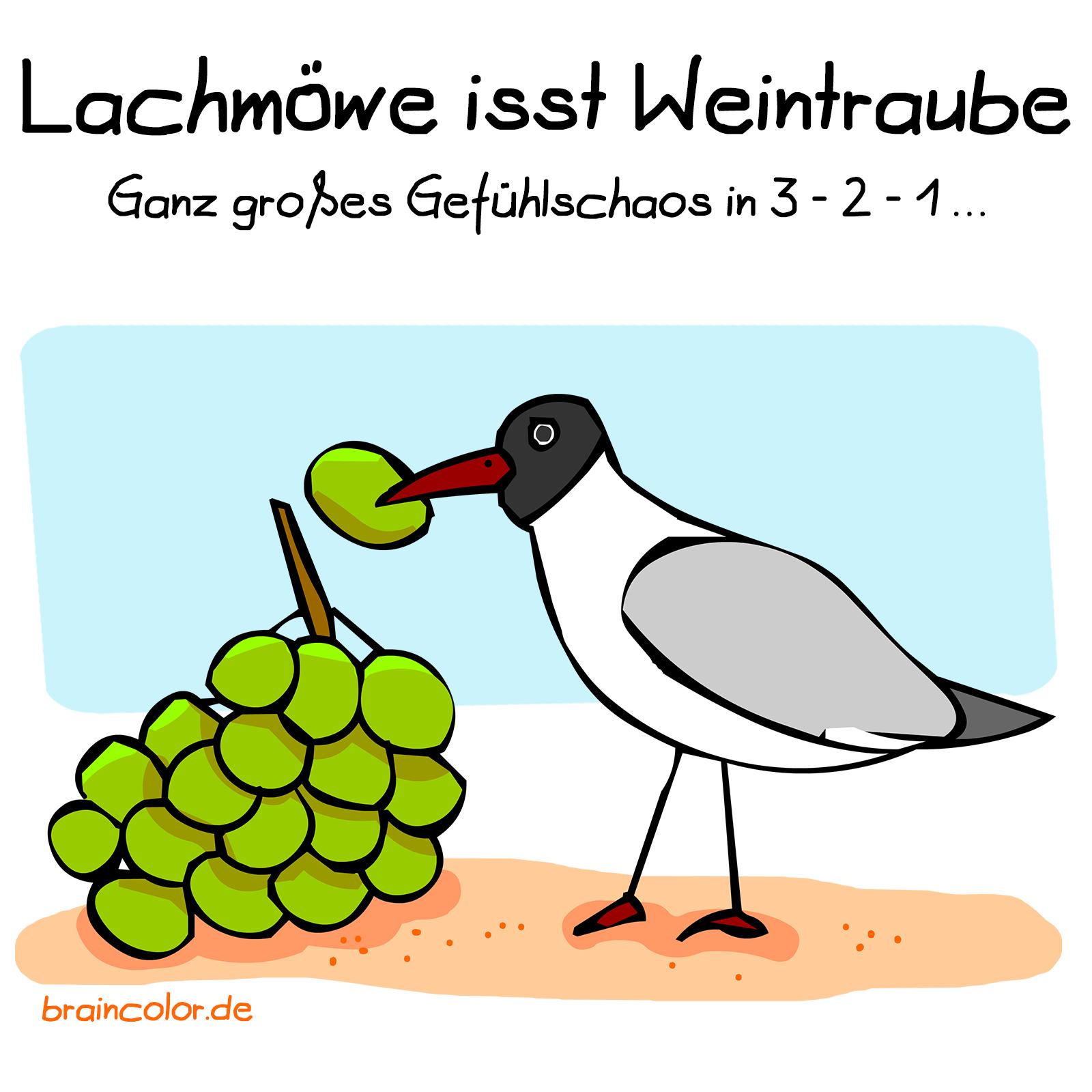 Lachmöwe isst Weintraube